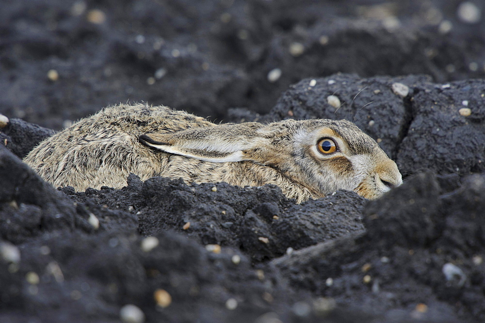 European hare hare is hiding in the field camouflage protection behavior