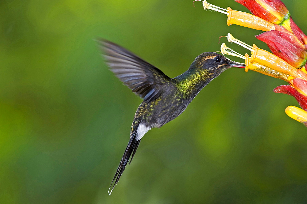 White-whiskered Hermit hummingbird heading for blossom side view Milpe Reserve Ecuador South America Animals