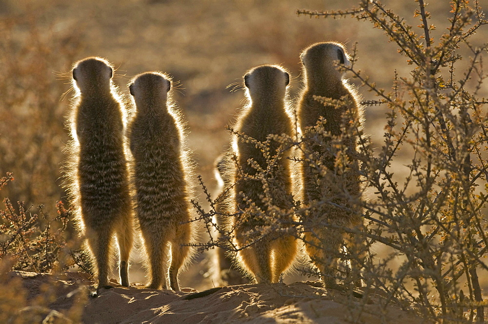 slender-tailed meerkat four standing in row contre-jour rear view Kgalagadi Transfrontier National Park South Africa Africa Animals