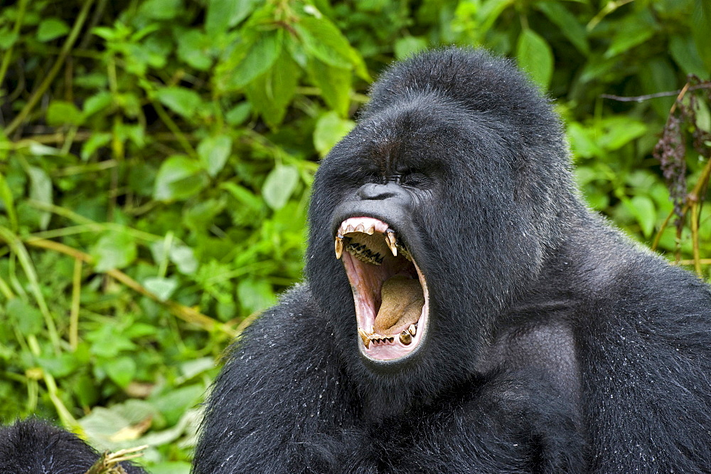 mountain gorilla Male Gorilla silverback roaring Virunga Mountains Rwanda Africa
