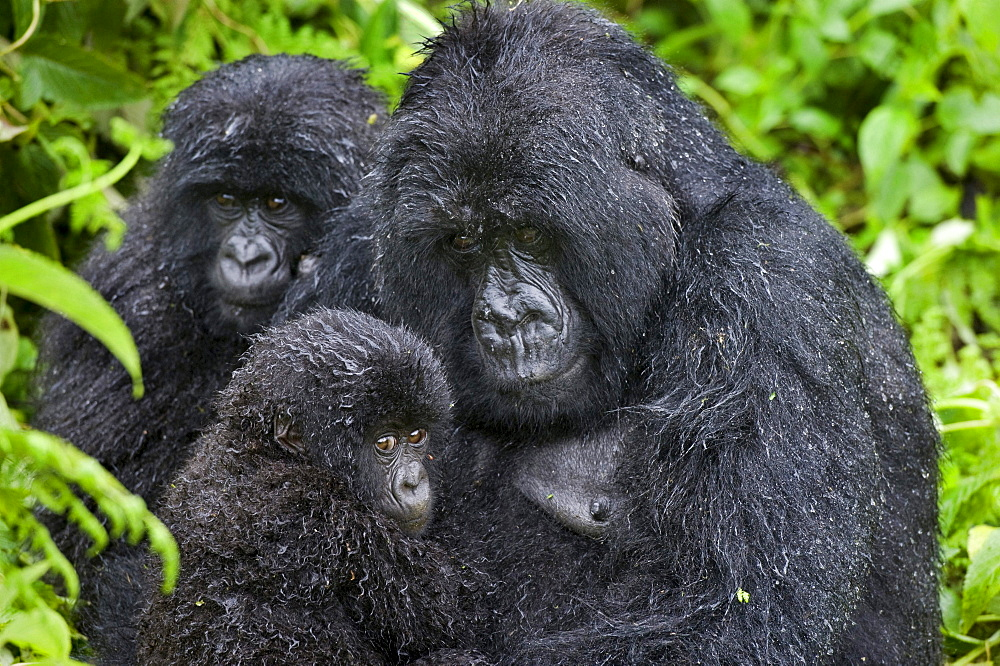 mountain gorilla Female Gorilla with young Virunga Mountains Rwanda Africa