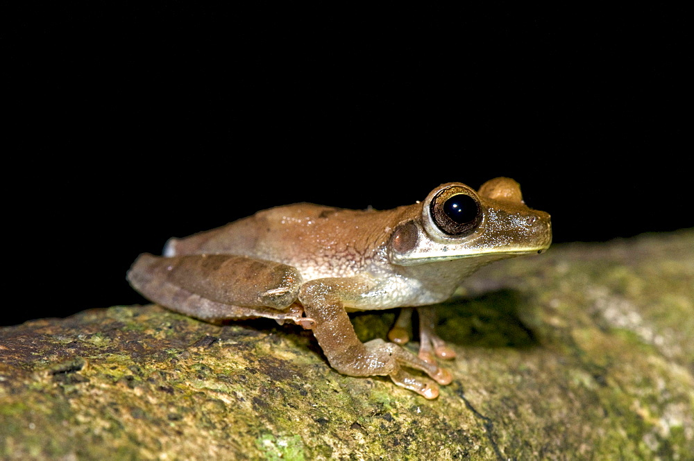 Rocket Treefrog sitting on branch night shot side view Peru South America Animals