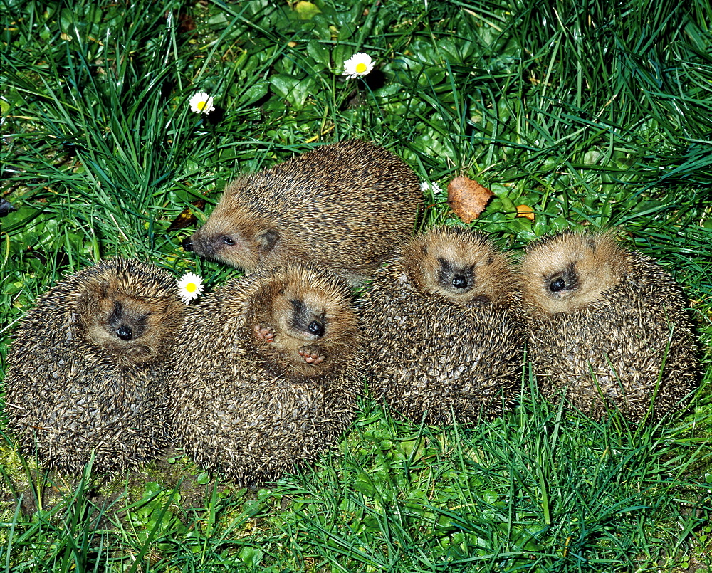 Western European hedgehog five young hedgehogs lying snoozing in the grass Saxony Germany - 869-3025
