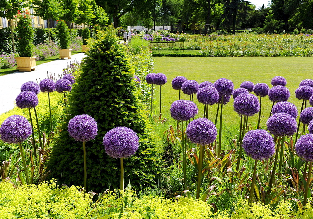 leek with decorative purple flower balls Saxony-Anhalt Germany Botanical
