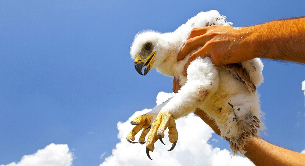 Spanish imperial eagle imperial eagle juvenile rescue of chick Sierra Morena Andalusia Spain Animals