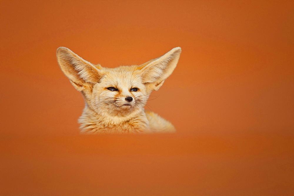 fennec fox desert fox sitting in orange brown desert dune sand outdoors single animal head portrait Morocco North Africa Africa
