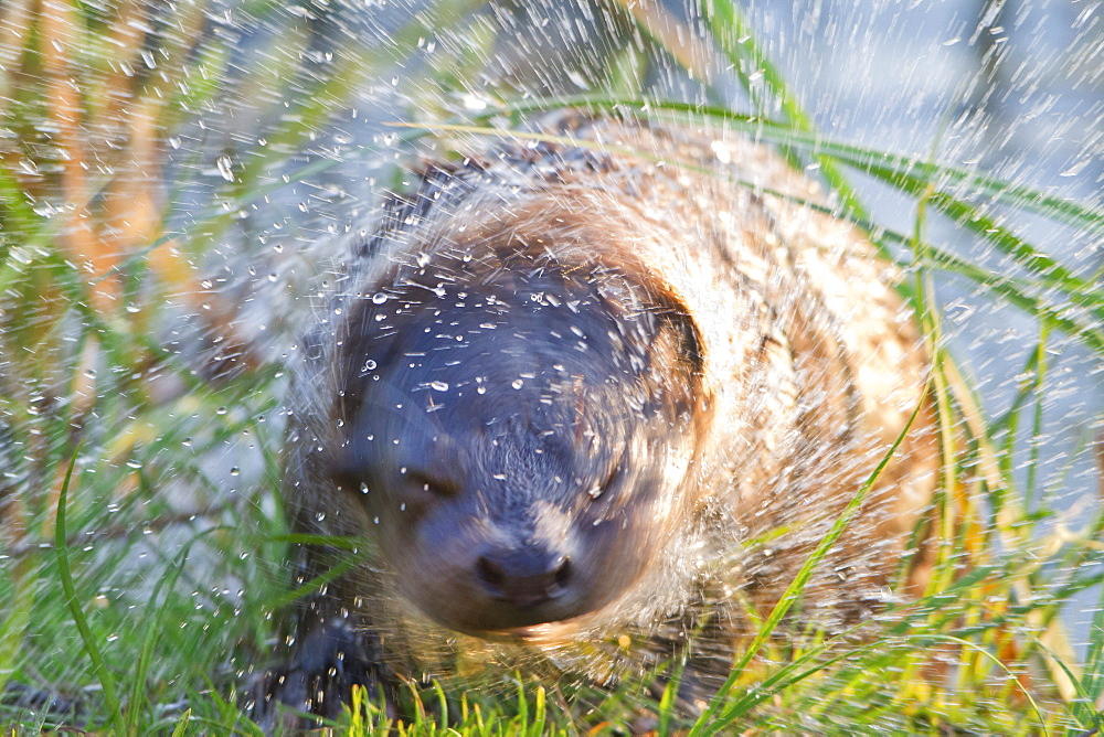 European otter otter shakes up at shore of Prestvannet lake Troms county Norway Animals