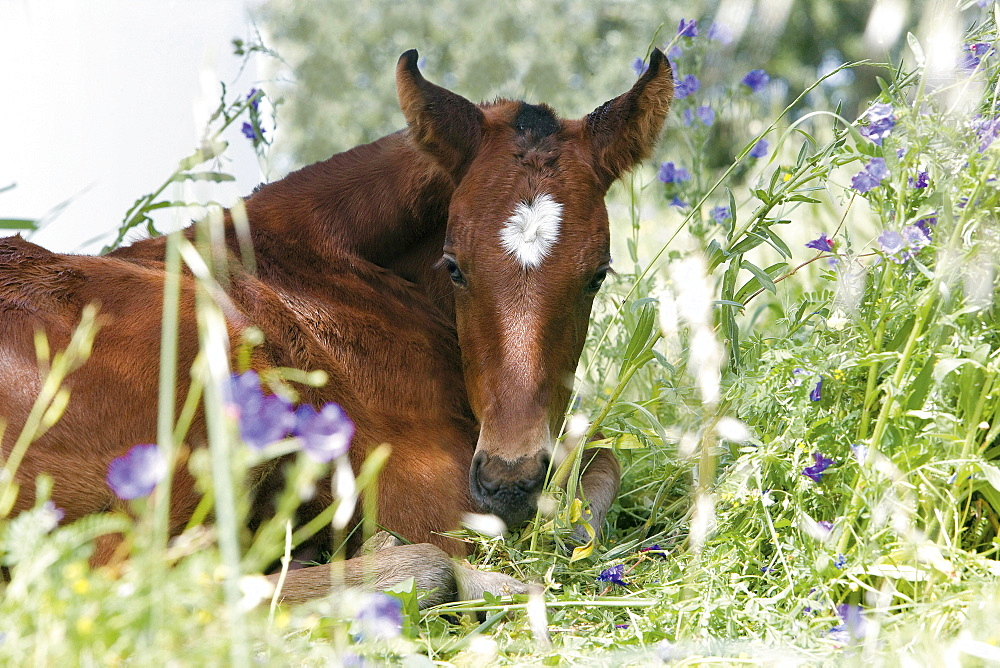 horse Alter Real horse foal lying in meadow portrait stud Alter Do Chao Portugal Europe
