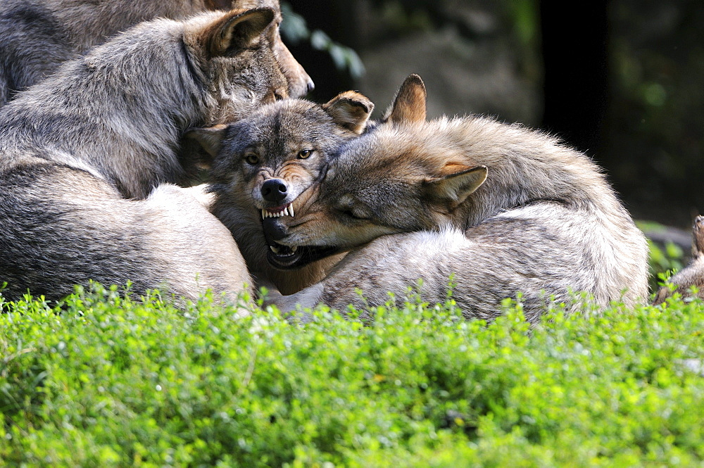 Eastern timber wolf timberwolves in a pack with typical pack behavior rank order aggression Animals