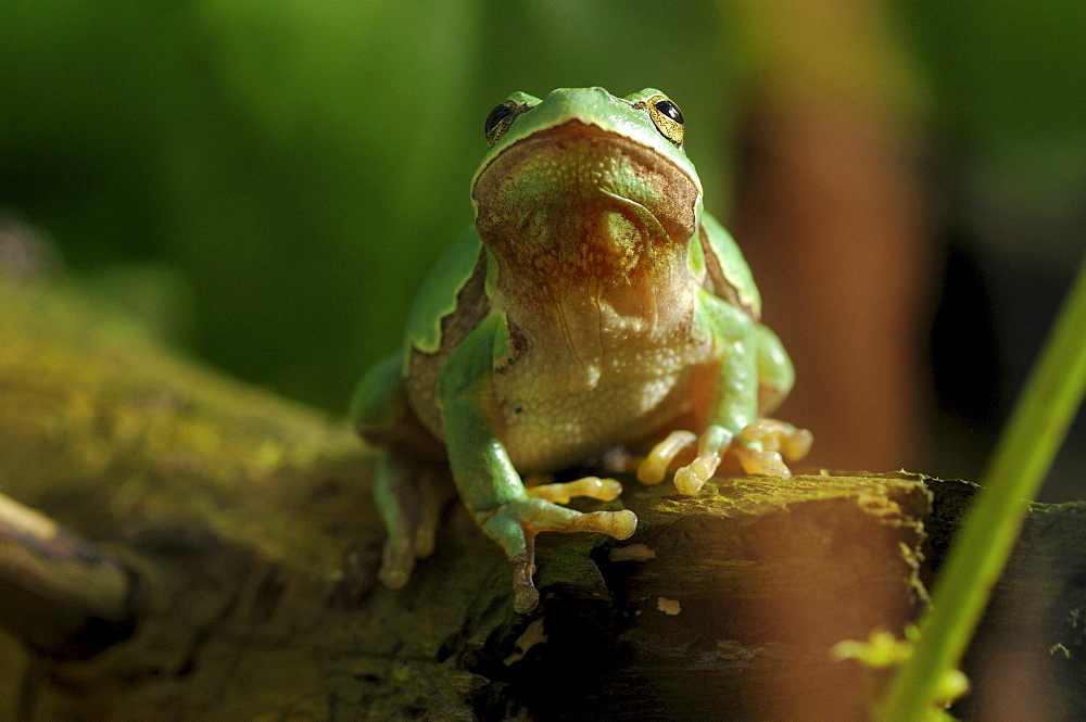 European green tree frog or European tree frog tree frog on the hunt for insects in summer Animals