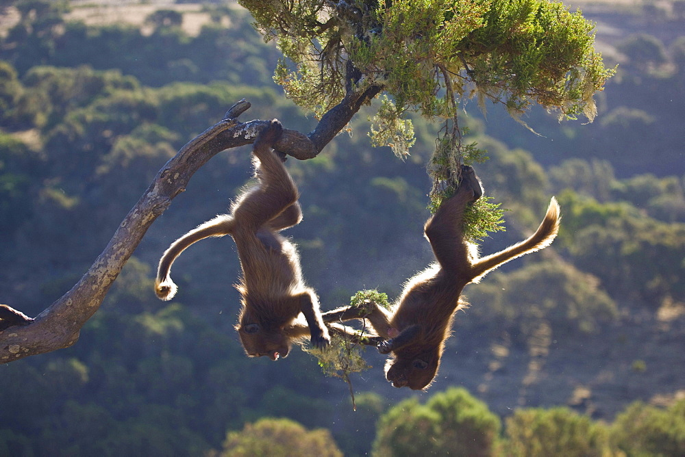 gelada baboon two young baboons hanging headfirst from branch feeding playing Simien Mountains National Park Ethiopia Africa Animals