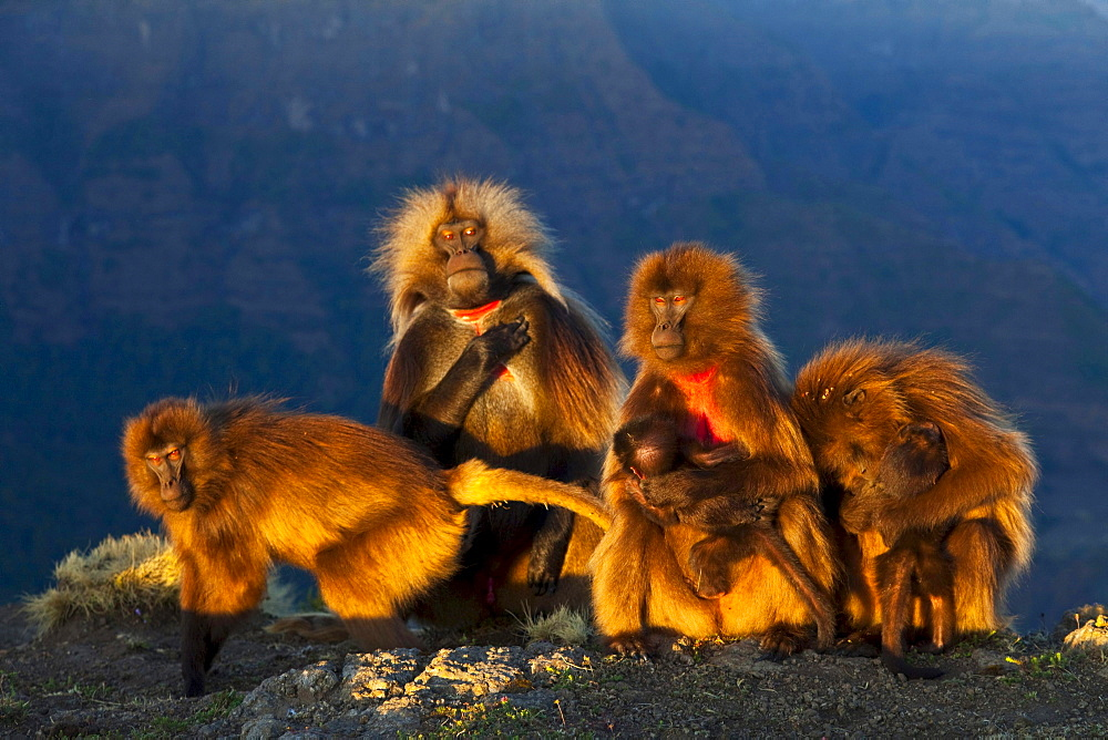 gelada baboon group of baboons male females young Simien Mountains National Park Ethiopia Africa Animals