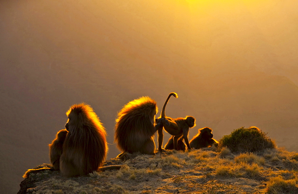 gelada baboon backlit baboon group with young Simien Mountains National Park Ethiopia Africa Animals