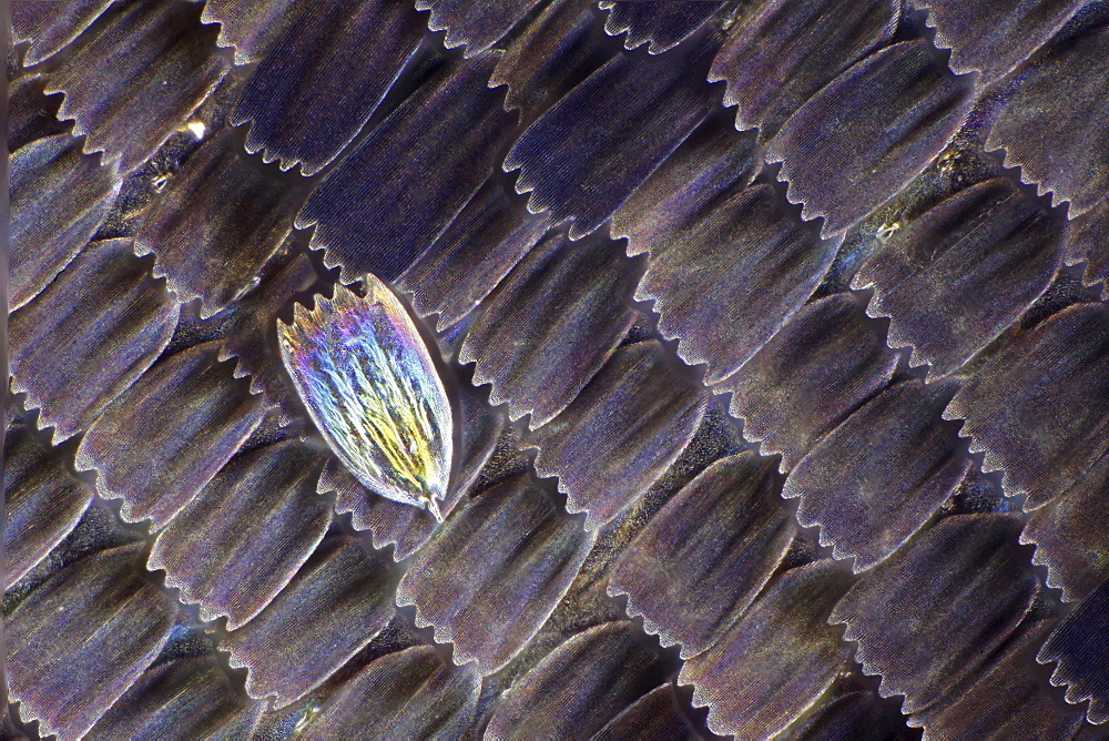 peacock wing scales of peacock butterfly close-up detail microscopy