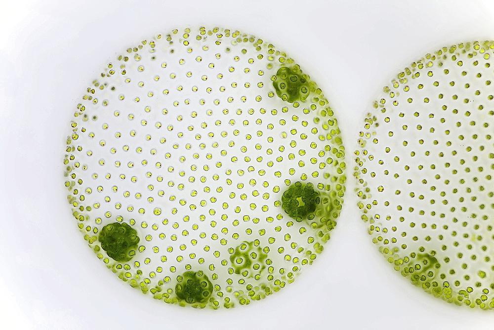 globular alga volvox bright field microscopy