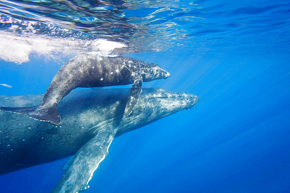 humpback whale A mother and calf surface off the island of Maui Hawaii