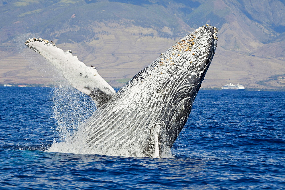 humpback whale breaching whale in front of Lahaina Maui Hawaii