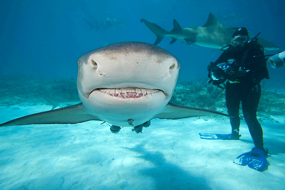 lemon shark A photographer diver looks on at this shark underwater with remoras West End Grand Bahamas Atlantic Ocean