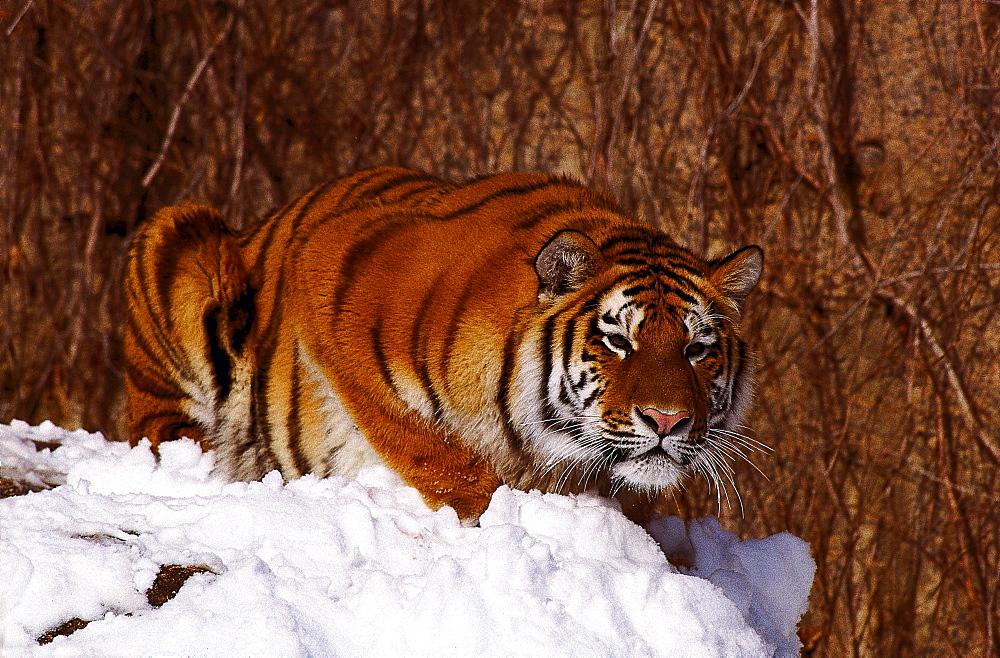 Siberian tiger tiger lying on snowy rock