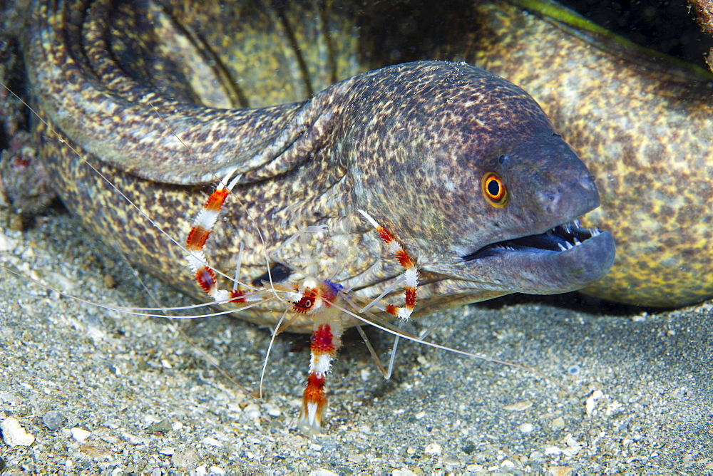 banded coral shrimp a banded boxer shrimp checks closely on this yellowmargin moray eel Gymnothorax flavimarginatus for parasites Hawaii