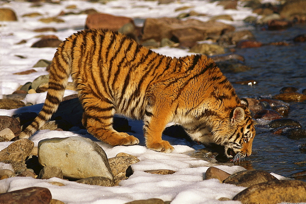 Siberian tiger standing drinking by edge of river
