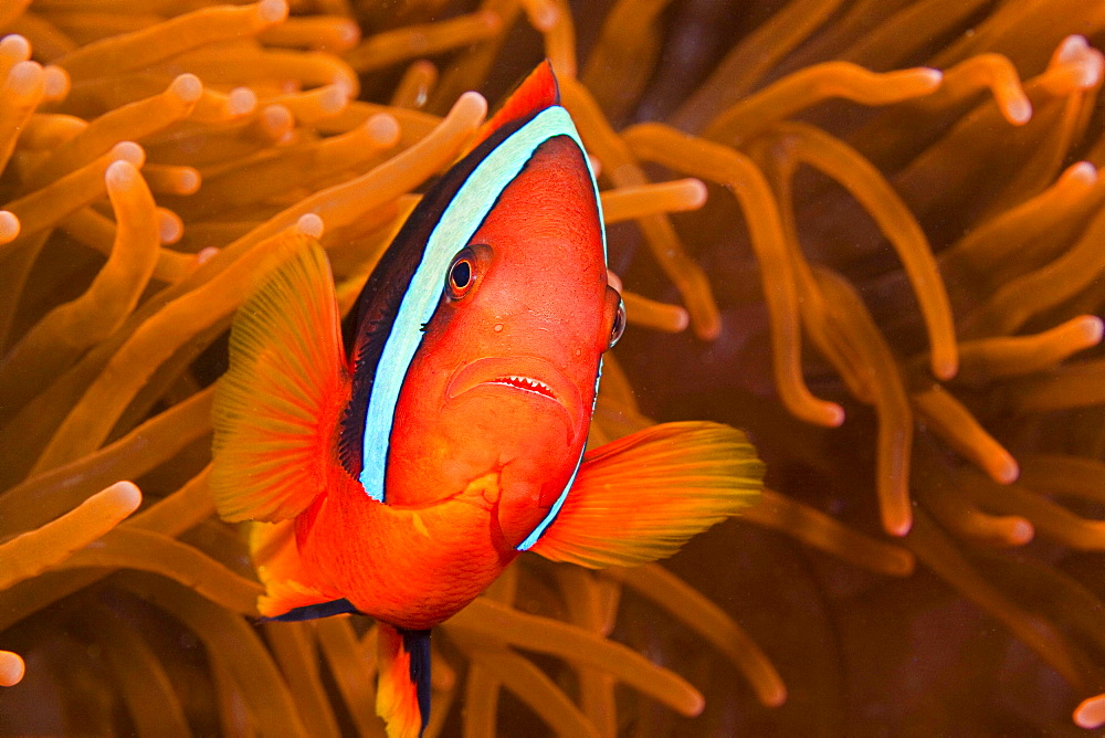 cinnamon clownfish or fire clownfish anemonefish sticking close to it's host anemone underwater Philippines Asia