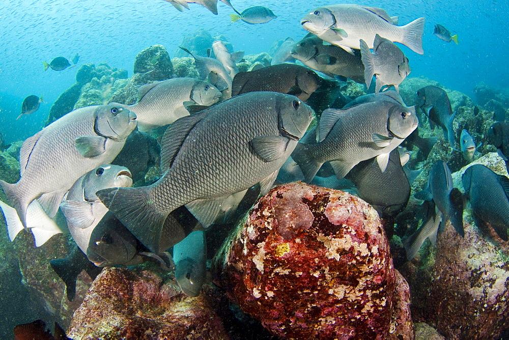 dusky sea chub or porgy schooling dusky chub underwater Galapagos Ecuador