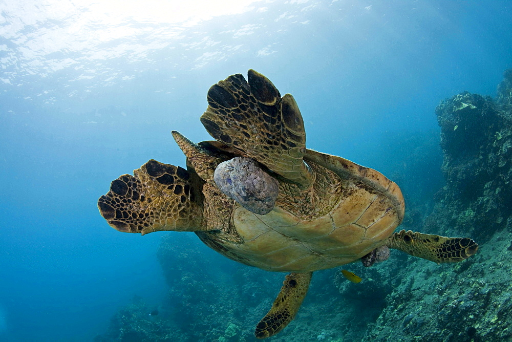 green turtle or green sea turtle This green sea turtle Chelonia mydas has large fibropapilloma tumours on various parts of it's body Soon the tumours will grow to cover both eyes and limit the turtles ability to locate a food source Hawaii
