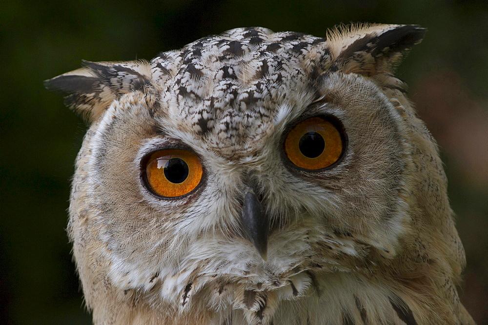 Northern eagle owl Turkoman eagle owl portait eye contact