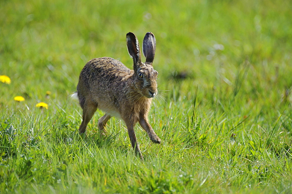 European hare European hare running across meadow portrait side view
