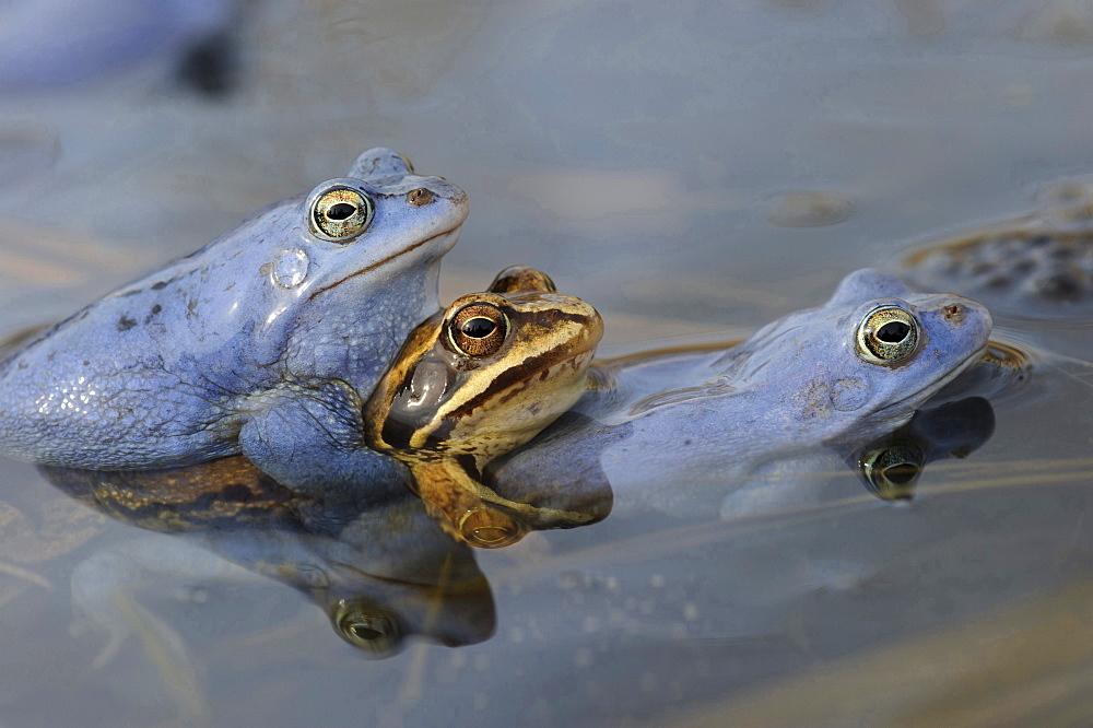 moor frog mating moor frogs in water of pond behavior