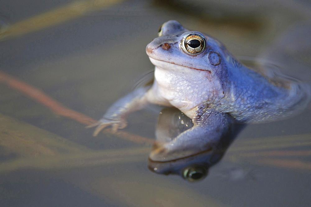 moor frog male moor frog blue colored sitting in water of pond portrait mating behavior