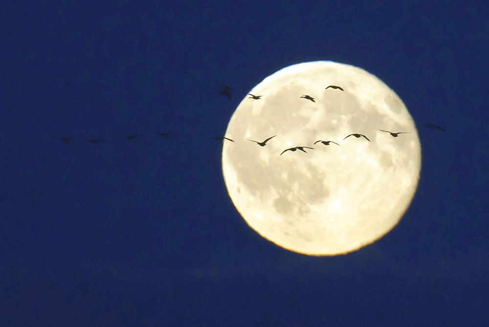 goose group of geese flying in front of full moon mood