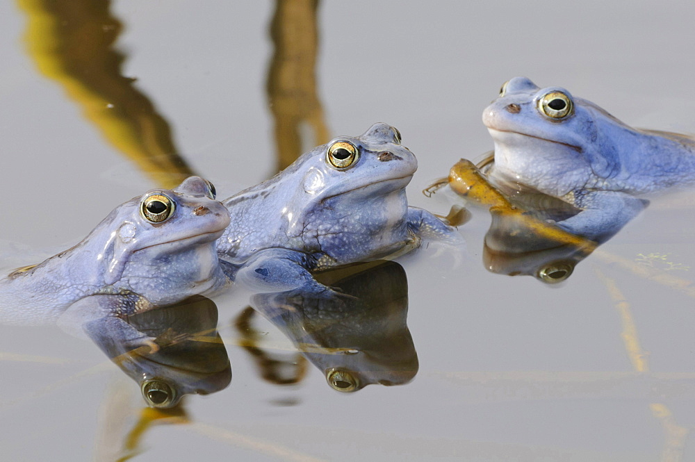 moor frog male moor frogs blue colored sitting in water of pond portrait mating behavior