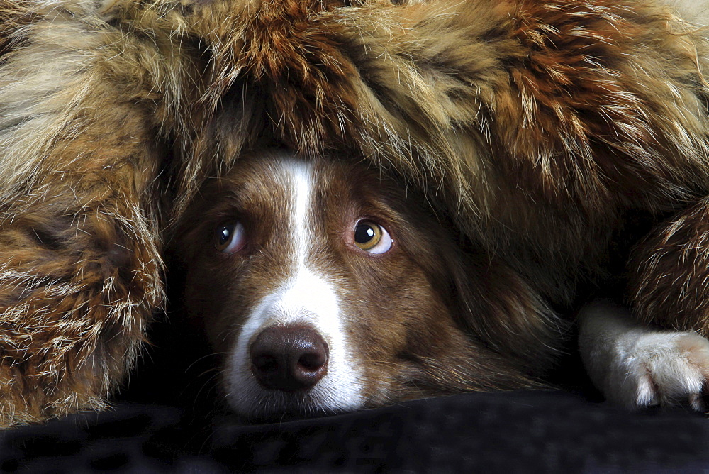border collie border collie lying hidden under fur head portrait close up view funny image