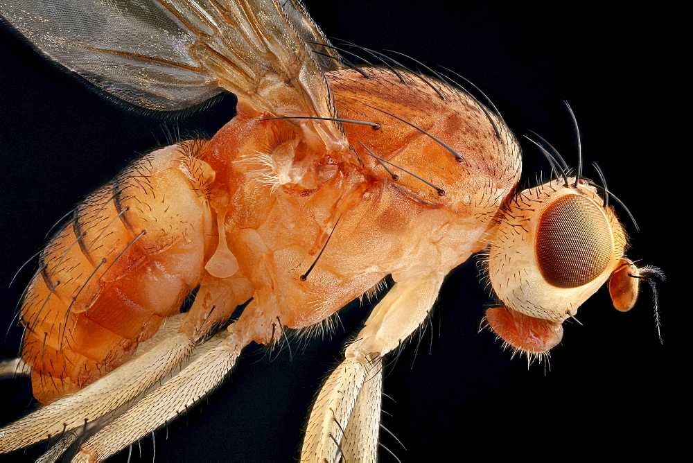 dryomyzid fly fly lateral shot