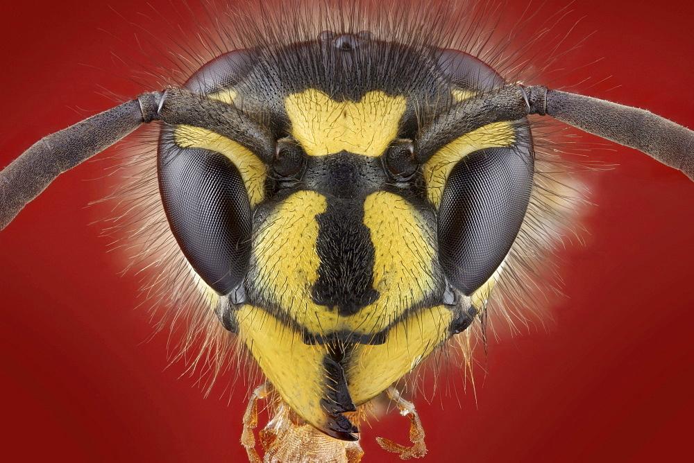 German wasp portrait Germany Europe