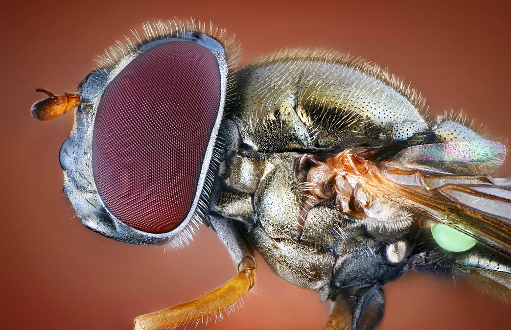 hoverfly portrait head thorax lateral view