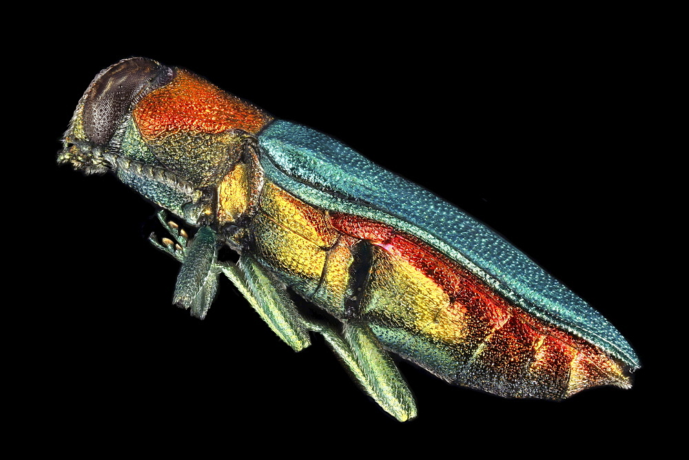 jewel beetle lateral view Germany Europe