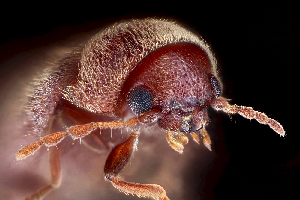 drugstore beetle or bread beetle or biscuit beetle portrait Germany Europe