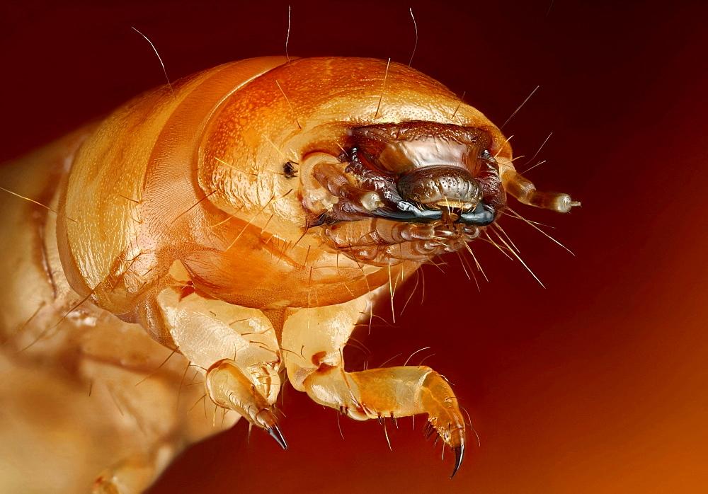 mealworm beetle larva mealworm Germany Europe