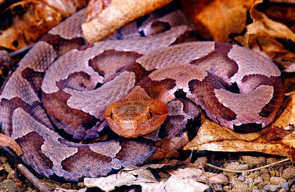 Northern copperhead venomous snake camouflaged among leaf litter USA North America (Agkistrodon contortrix mokasen)