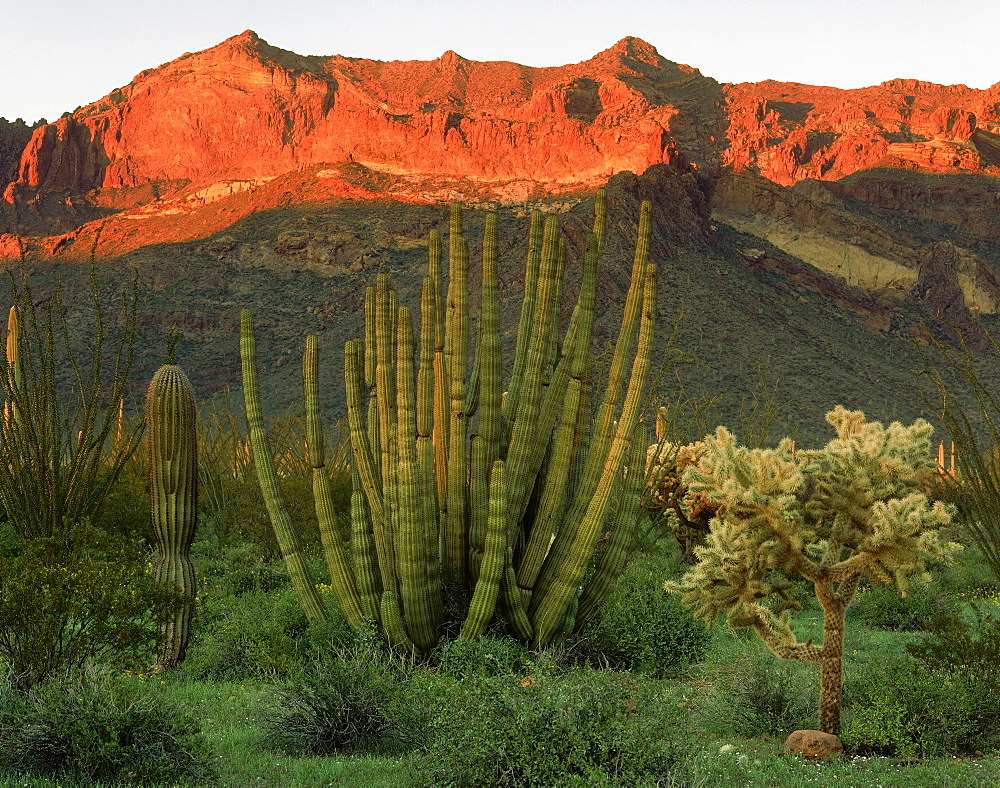 organpipe saguaro and cholla cacti with sunset light in Ajo Mountains Organ Pipe Cactus National Monument Arizona USA   - 869-5193