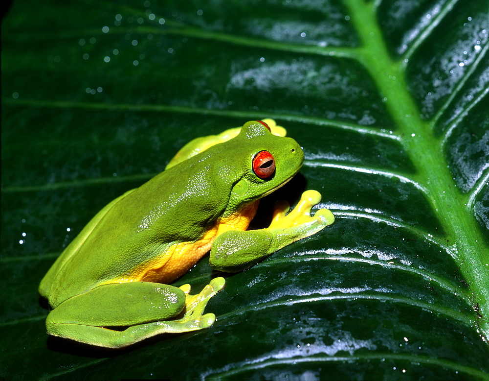 orange-eyed tree frog or red-eyed tree frog red-eyed tree frog on leaf portrait (Agalychnis callidryas)