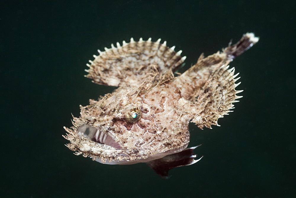 blackbellied angler swimming blackbellied angler portrait Spain (Lophius budegassa)