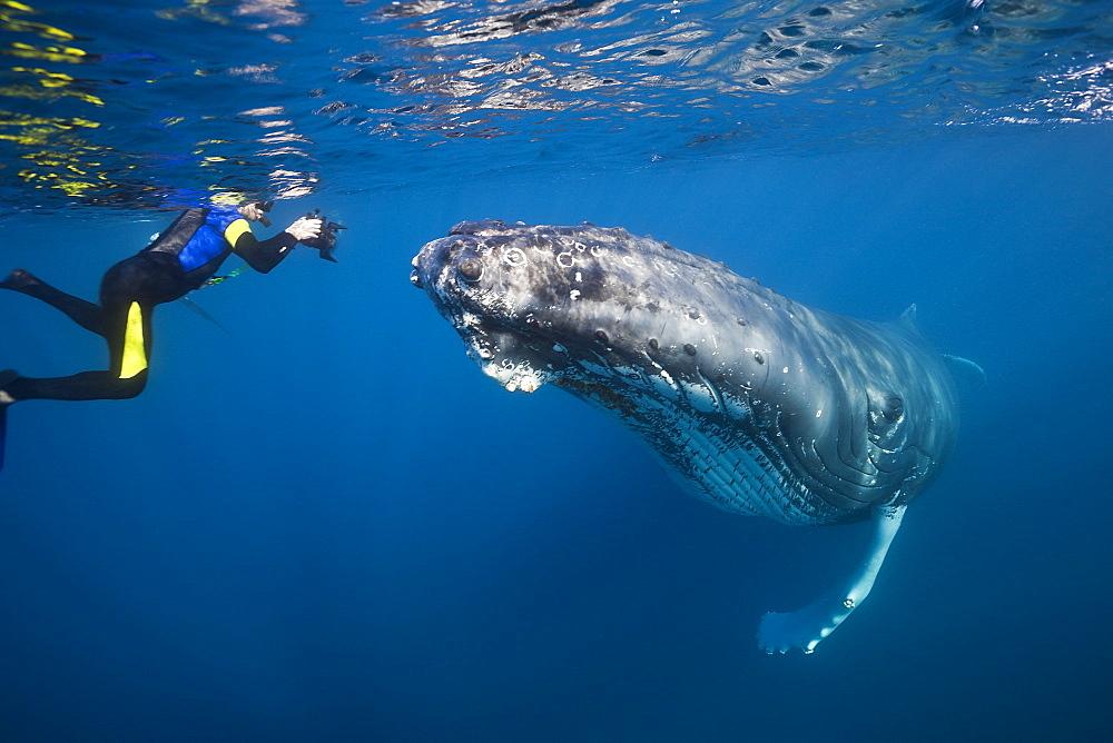 humpback whale humpback whale swimming with diver (Megaptera novaeangliae) - 869-5362