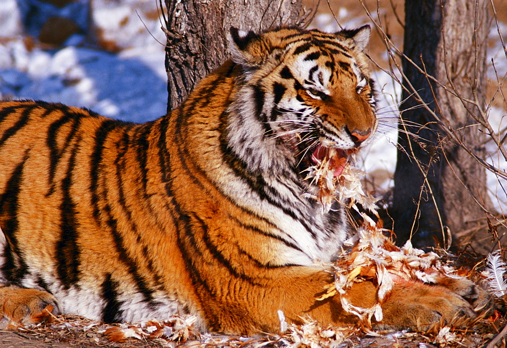 Siberian tiger China Asia
