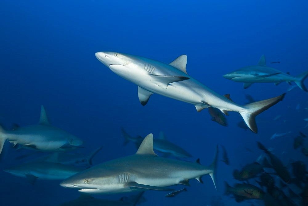 grey reef shark goup of swimming grey reef sharks (Carcharhinus amblyrhynchos)