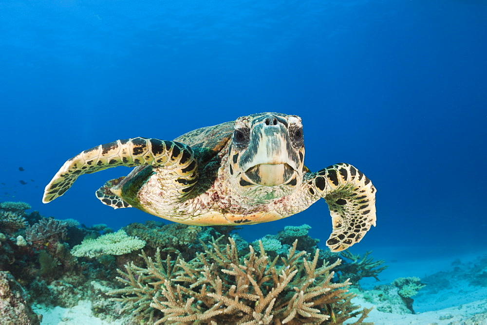 hawksbill turtle hawksbill turtle swimming over coral reef portrait front view (Eretmochelys imbricata) - 869-5376