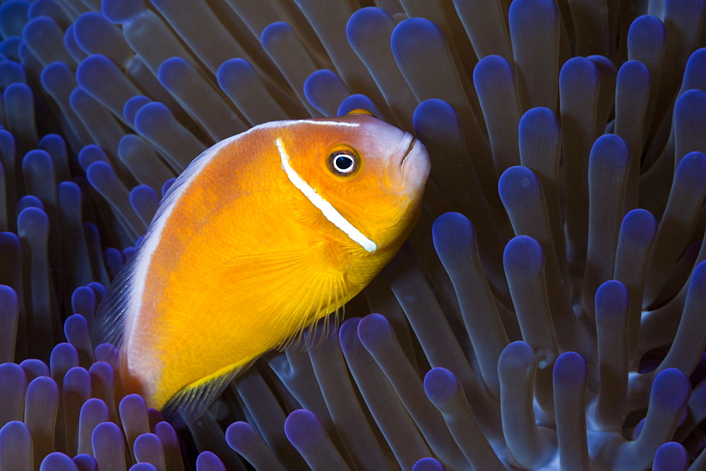 pink anemonefish pink anemonefish in anemone portrait (Amphiprion perideraion)